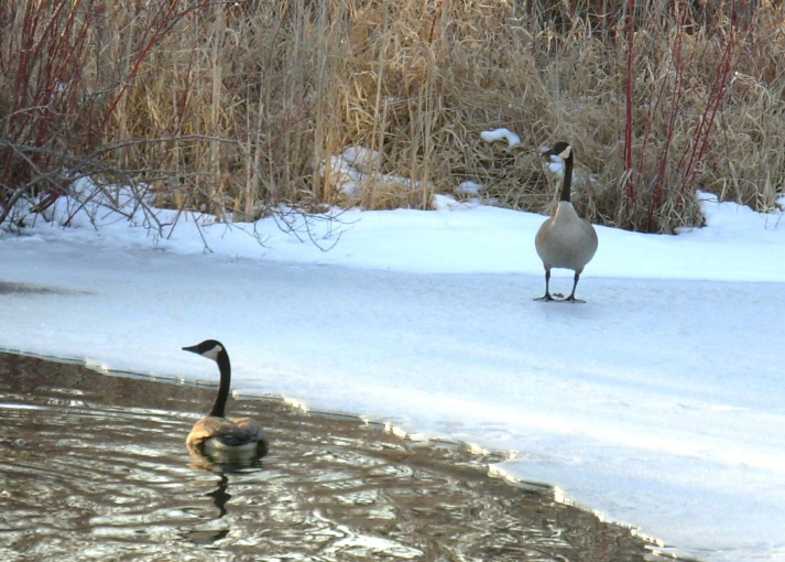 Gilbert and Gloria Goose on Whispering Pond