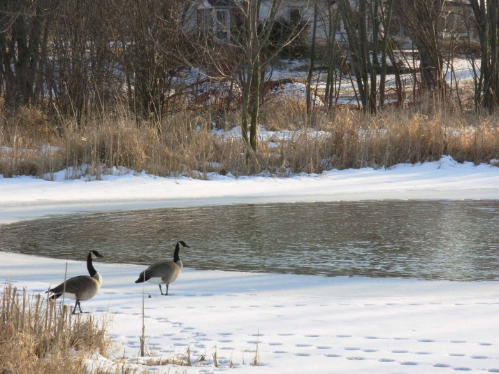 Geese returning to Whispering Pond