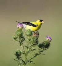 Goldfinch on purple thistle
