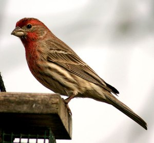 Fred H Finch often sings from the railing of our deck.