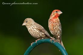 House Finch Pair 2
