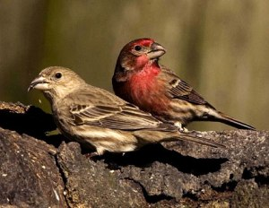 Phyllis and Fred H. Finch. Photo from www.allaboutbirds.org