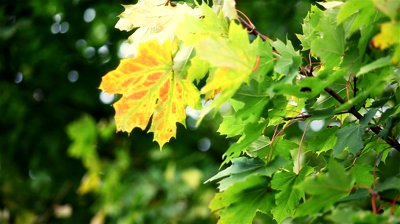 Yellow Leaves on Green Tree