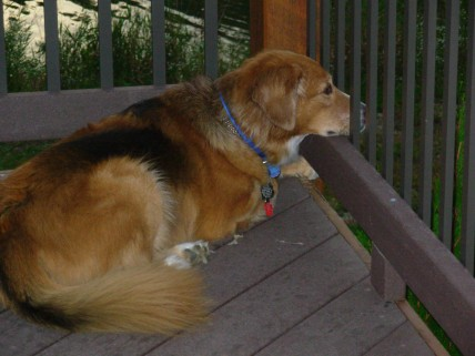 Abbey relaxing on the deck - but on the look-out for wasps.