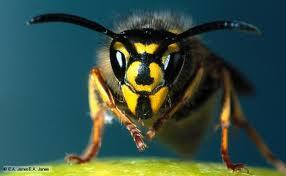 Wasp face 2