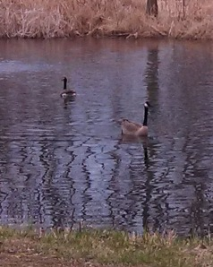 2 geese 04-21-14