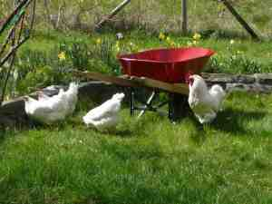 red-wheelbarrow white chickens