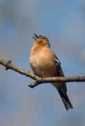 bird singing 1
