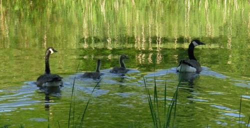 4 Geese - long