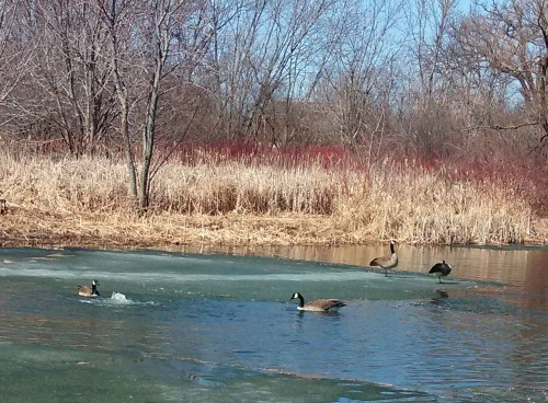 4 geese on pond