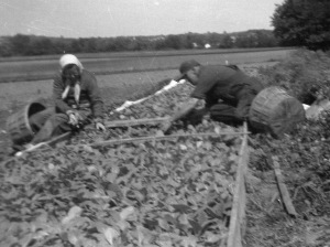 Mom and Dad pulling tobacco plants