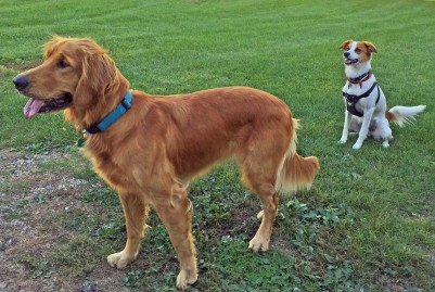 Lucy and Floey waiting for another tennis ball to be tossed