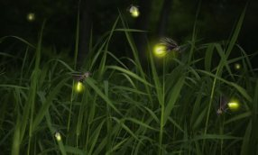 Fireflies close up