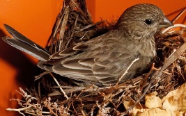 2011_05_31-10_19_37-1428-baby-house-finch-nest.jpg