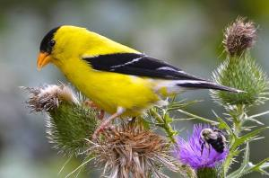american-goldfinch-fredric-d-nisenholz
