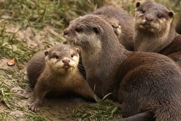 otter-asian-baby
