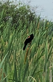 Red-winged Blackbird on cattail